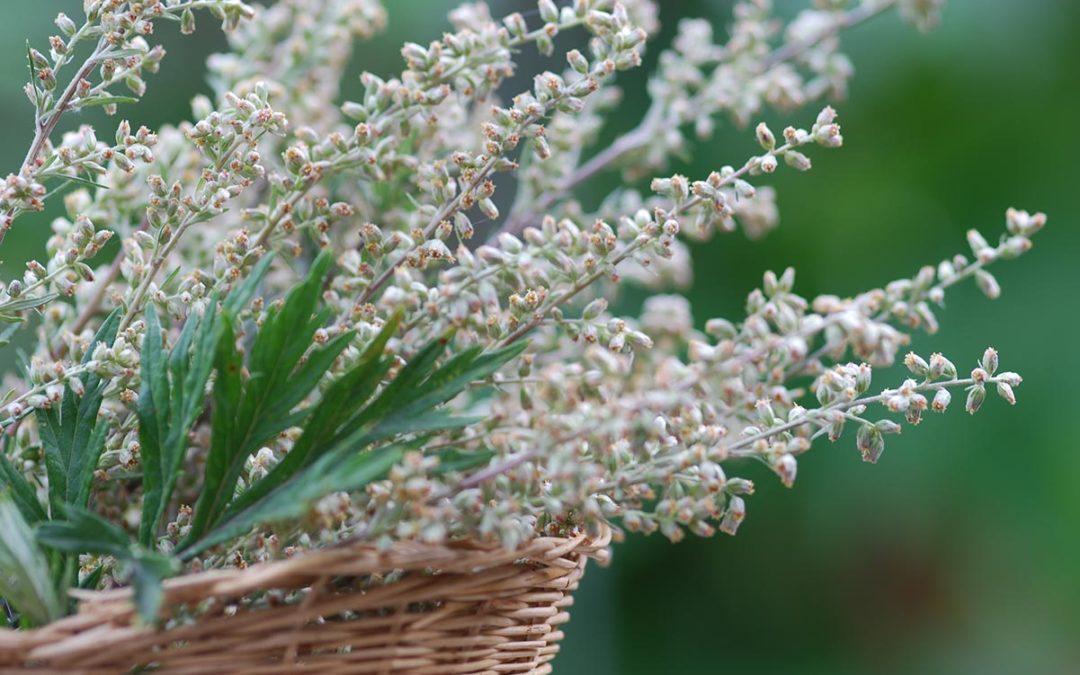 Beifuss – Artemisia vulgaris